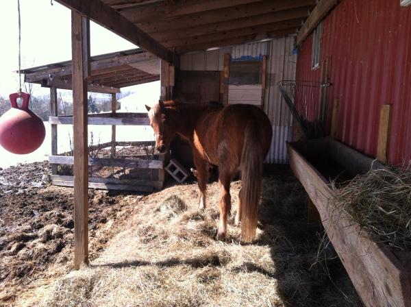 Standing in the barn yard, munching away.